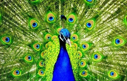 peacock_closeup_picture_168794