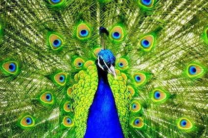 peacock_closeup_picture_168794